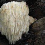 Lions Mane Mushroom Supplements