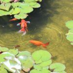 Small Fish Pond Cleaning with Beneficial Pond Bacteria